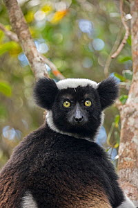 RF- Indri (Indri indri) portrait while hanging in a tree. Maromizaha Reserve, Andasibe Mantadia National Park, Eastern Madagascar. (This image may be licensed either as rights managed or royalty free.... - David  Pattyn