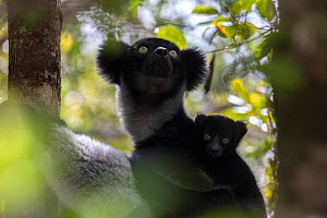 Indri (Indri indri) portrait of a female with baby, while hanging in a tree. Maromizaha Reserve, Andasibe Mantadia National Park, Eastern Madagascar. August - David  Pattyn