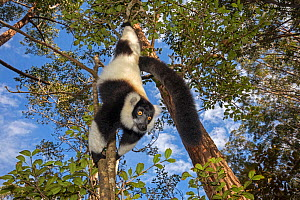 Black and white ruffed lemur (Varecia variegata variegata) hanging from branch, Vakona island, Andasibe area, Madagascar. Captive.  -  David  Pattyn
