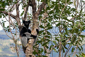 Indri (Indri indri) portrait while hanging in a tree. Maromizaha Reserve, Andasibe Mantadia National Park, Eastern Madagascar. - David  Pattyn
