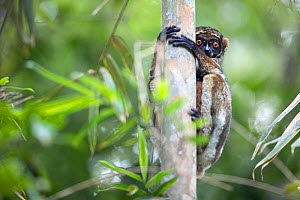 Eastern woolly lemur (Avahi laniger) in a tree. Andasibe-Mantadia National Park, eatern Madagascar. - David  Pattyn