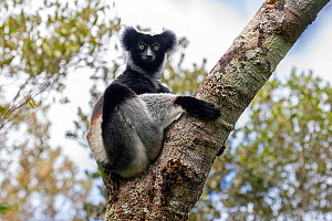 Indri (Indri indri) adult sitting in a tree. Maromizaha Reserve, Andasibe Mantadia area, eastern Madagascar. - David  Pattyn
