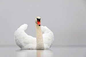 RF- Mute swan (Cygnus olor) on a misty morning Valkenhorst Nature Reserve, Valkenswaard, the Netherlands. December (This image may be licensed either as rights managed or royalty free.)  -  David  Pattyn
