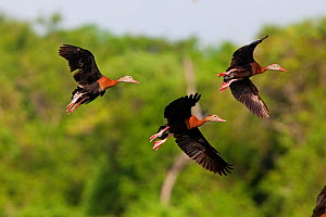 Black-bellied Whistling-duck (Dendrocygna autumnalis)  group of three in flight,  near Bahia Cacaluta, Bahias de Huatulco National Park, Oaxaca, southern Mexico, August  -  Claudio  Contreras