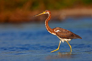 Tricolored heron (Egretta tricolor), Copalita River mouth, Huatulco Bays National Park, southern Mexico, November  -  Claudio  Contreras