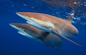 Silky shark (Carcharhinus falciformis) two swimming together,  Jardines de la Reina / Gardens of the Queen National Park, Caribbean Sea, Ciego de Avila, Cuba, January. Vulnerable species. - Claudio  Contreras