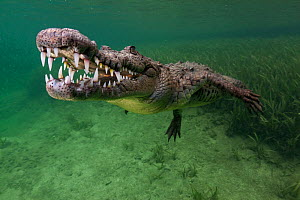 American crocodile (Crocodylus acutus), IUCN Vulnerable, Jardines de la Reina / Gardens of the Queen National Park, Caribbean Sea, Ciego de Avila, Cuba, January - Claudio  Contreras