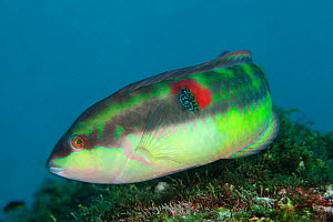 Wounded wrasse (Halichoeres chierchiae), San Agustin Bay, Huatulco Bays National Park, southern Mexico, November - Claudio  Contreras