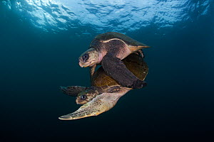 Olive ridley turtle (Lepidochelys olivacea) mating, Huatulco National Park, Oaxaca state, southern Mexico, IUCN Vulnerable, August - Claudio  Contreras