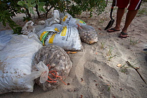 Olive ridley turtle (Lepidochelys olivacea) eggs seized from poachers, Arribada, Playa Morro Ayuta, Oaxaca state, southern Mexico, Vulnerable species.  -  Claudio  Contreras