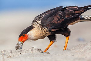 Crested caracara (Caracara cheriway) adult eating Olive Ridley Sea Turtle (Lepidochelys olivacea) egg, Arribada (mass nesting event), Playa Morro Ayuta, Oaxaca state, southern Mexico.  -  Claudio  Contreras