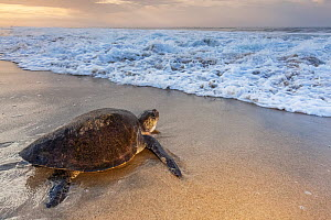Olive ridley sea turtle (Lepidochelys olivacea) returning to sea after laying eggs on the beach, Arribada (mass nesting event), Playa Morro Ayuta, Oaxaca state, southern Mexico, Vulnerable.  -  Claudio  Contreras