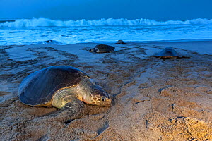 Olive ridley sea turtle (Lepidochelys olivacea) arriving to nest, Arribada (mass nesting event), Playa Morro Ayuta, Oaxaca state, southern Mexico, Vulnerable.  -  Claudio  Contreras
