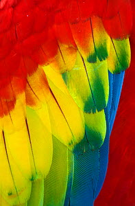Scarlet Macaw (Ara macao) close up of feathers, captive, Palenque, Chiapas, southern Mexico, March - Claudio  Contreras