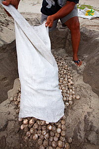 Biologist burying Olive Ridley Turtle (Lepidochelys olivacea) eggs seized from poachers by the authorities, Arribada (mass nesting event), Playa Morro Ayuta, Oaxaca state, southern Mexico. Vulnerable...  -  Claudio  Contreras