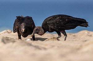 American Black Vulture (Coragyps atratus) eating Olive ridley sea turtle (Lepidochelys olivacea) egg, Arribada (mass nesting event), Playa Morro Ayuta, Oaxaca state, southern Mexico.  -  Claudio  Contreras