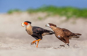 Crested caracara (Caracara cheriway) adult eating Olive ridley sea turtle (Lepidochelys olivacea) egg, juvenile trying to steal it,  Arribada (mass nesting event), Playa Morro Ayuta, Oaxaca state, sou...  -  Claudio  Contreras