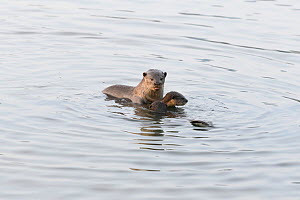 Smooth-coated otter (Lutrogale perspicillata) with young otters, socializing in the early morning, Kallang River, Singapore - Tony Wu
