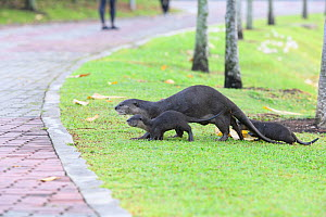 Smooth-coated otters (Lutrogale perspicillata)  two young, heading back to shelter,  Kallang River, Singapore  -  Tony Wu