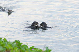 Smooth-coated otters (Lutrogale perspicillata) eating fish in the early morning in Kallang River, Singapore - Tony Wu