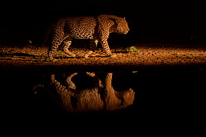 Leopard (Panthera pardus) walking beside waterhole, reflected in the water at dusk. Londolozi Private Game Reserve, Sabi Sands Game Reserve, South Africa.  -  Sergey  Gorshkov
