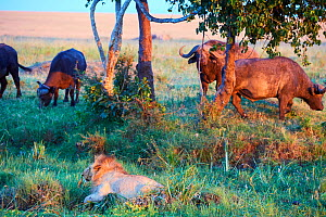 African lion (Panthera leo) male in front of charging Cape buffalo herd (Syncerus caffer caffer), Masai Mara National Reserve, Kenya, Africa.  Sequence 11 of 13. The lion along with a lioness had kill... - Eric Baccega