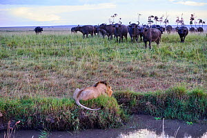 African lion (Panthera leo) male in front of charging Cape buffalo herd (Syncerus caffer caffer), Masai Mara National Reserve, Kenya, Africa. Sequence 1 of 13. The lion along with a lioness had killed...  -  Eric Baccega