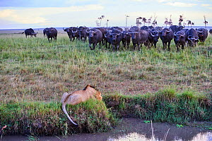 African lion (Panthera leo) male in front of charging Cape buffalo herd (Syncerus caffer caffer), Masai Mara National Reserve, Kenya, Africa. Sequence 2 of 13. The lion along with a lioness had killed... - Eric Baccega