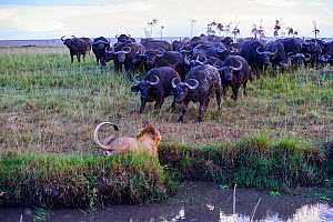 African lion (Panthera leo) male in front of charging Cape buffalo herd (Syncerus caffer caffer), Masai Mara National Reserve, Kenya. Sequence 4 of 13. The lion along with a lioness had killed a buffa... - Eric Baccega