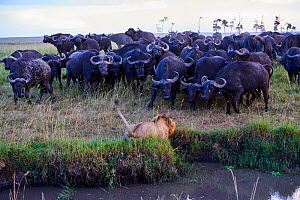 African lion (Panthera leo) male in front of charging Cape buffalo herd (Syncerus caffer caffer), Masai Mara National Reserve, Kenya. Sequence 5 of 13. The lion along with a lioness had killed a buffa... - Eric Baccega