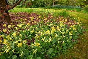 Cowslips (Primula veris)  in flower, England, UK. April.  -  Stephen  Dalton