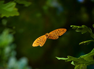 Silver washed fritillary (Argynnis paphia) in flight, Sussex, England, UK, July. - Stephen  Dalton