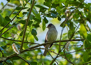 Blackcap (Sylvia atricapilla) perched in tree, Somerset, England, UK, May.  -  Stephen  Dalton