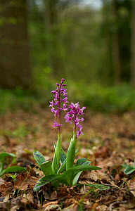 Early purple orchid (Orchis mascula) Sussex, England, UK, April.  -  Stephen  Dalton