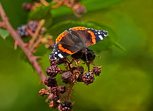 Red admiral butterfly (Vanessa atalanta) feeding on over-ripe blackberries, England, UK, September.  -  Stephen  Dalton