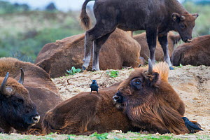 European bison (Bison bonasus) resting with Jackdaw (Corvus monedula) Zuid-Kennemerland National Park, the Netherlands. Reintroduced species. - Edwin Giesbers