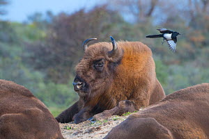 European bison (Bison bonasus) with Magpie (Pica pica) Zuid-Kennemerland National Park, the Netherlands. Reintroduced species ; magpie;  -  Edwin Giesbers