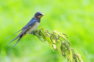 Barn swallow (Hirundo rustica) perched on nettle, The Netherlands  -  Edwin Giesbers