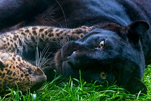 Black panther / melanistic Leopard (Panthera pardus) female resting with normal spotted cub, captive.  -  Edwin Giesbers