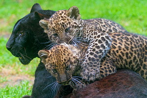 Black panther / melanistic Leopard (Panthera pardus) female with normal spotted cubs playing, captive.  -  Edwin Giesbers