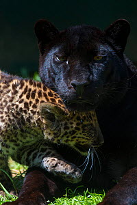 Black panther / melanistic Leopard (Panthera pardus) female with normal spotted cub, captive.  -  Edwin Giesbers