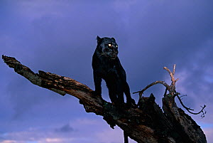 Black panther / melanistic Leopard (Panthera pardus) standing on dead tree, captive. Non-ex  -  Andy Rouse