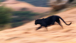 Black panther / melanistic Leopard (Panthera pardus) running, blurred motion. Captive. Non-ex  -  Andy Rouse