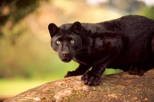 Black panther / melanistic Leopard (Panthera pardus) on log, captive. Non-ex  -  Andy Rouse