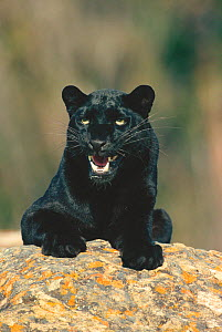 Black panther / melanistic Leopard (Panthera pardus) snarling. Captive. Non-ex - Andy Rouse