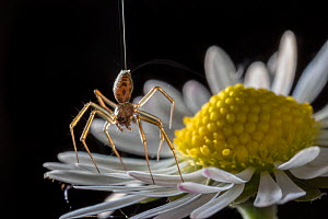 Money spider (Tenuiphantes sp) tiptoeing behaviour on daisy. Spiders can stand on tiptoes and produced silk to 'balloon' and travel with the airflow. In this image the silk dragline and feinte... - Michael Hutchinson