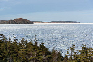 Views from the Skerwick Trail near Trinity with unusual sea ice filling the bay, Newfoundland, Canada. Canada, May, 2017. - Rhonda Klevansky