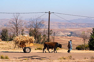 Farmer transporting maize chaff with oxen, Lesotho. August 2017 - Rhonda Klevansky