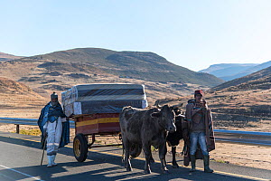 Transporting a mattress on oxen drawn cart, newly paved road, Lesotho, August 2017, - Rhonda Klevansky