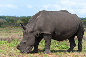 White rhinoceros (Ceratotherium simum) which has had its horn removed,  Isimangaliso Wetland Park, KwaZulu Natal, South Africa, August. They are dehorned to prevent poaching. - Rhonda Klevansky